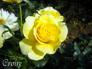 rose-7.jpg