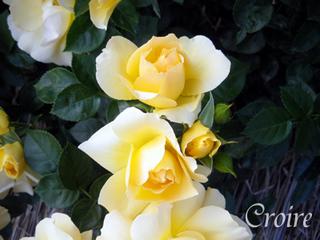 rose-70.jpg