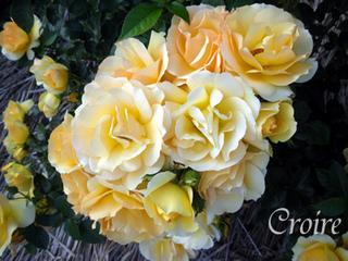 rose-71.jpg
