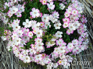 rose-73.jpg