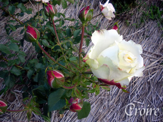 rose-74.jpg