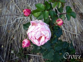 rose-75.jpg