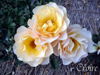 rose-77.jpg
