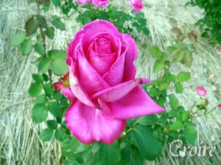 rose-79.jpg