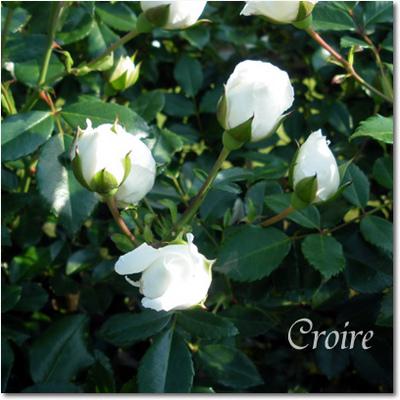 rose-8-albericbalbier.jpg