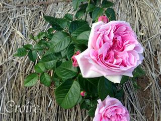 rose-80.jpg