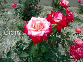 rose-81.jpg