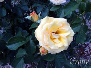 rose-82.jpg