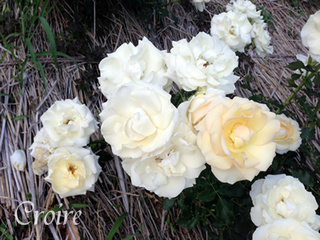 rose-83.jpg