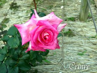 rose-84.jpg