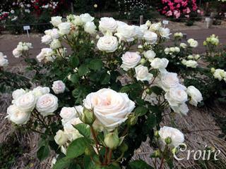 rose-85.jpg