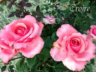 rose-86.jpg