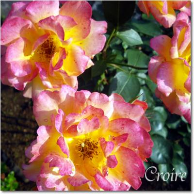 rose-9-annefrank.jpg