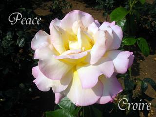 rose-9a.jpg